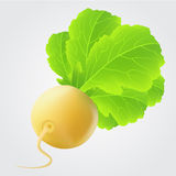 Yellow turnip with big leaves Royalty Free Stock Image