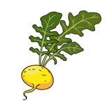 Yellow turnip with leaves. Vector Royalty Free Stock Photo