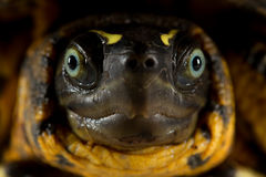 Yellow Turtle Head Close Up Stock Images