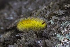 Yellow Tussock Moth Caterpillar on Black Rock Close Up Photography stock images