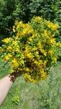 Yellow Tutsan herb  hypericum Royalty Free Stock Photography