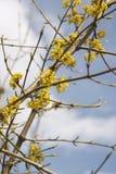 Yellow twig. Yellow spring twig Royalty Free Stock Photos