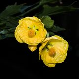 Yellow Twin Flowers. Close up of a pair of yellow flowers in full bloom royalty free stock image