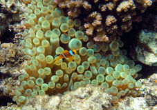 Yellow two-stripes anemon. (clown fish) of the Red Sea coral reef Stock Photography