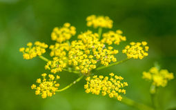 Yellow umbel of Fennel Royalty Free Stock Photos