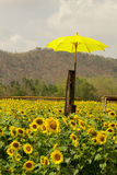 Yellow Umbrella on Beautiful landscape sunflowers in garden with Stock Photography