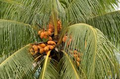 Yellow unripe coconuts on tree Royalty Free Stock Photo