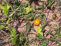 The Yellow Unwanted Flora Fruit Stock Photos