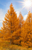 Yellow аutumn conifers Royalty Free Stock Photography