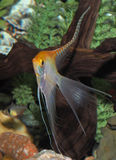 Yellow Vailed Finned Angel Fish Royalty Free Stock Photography