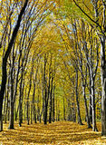 Yellow valley among beeches trees. Autumn forest path Stock Images