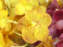 Yellow Vanda Royalty Free Stock Images