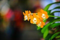 Yellow Vanda Orchid Royalty Free Stock Photo