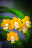 Yellow Vanda Orchid Royalty Free Stock Photos
