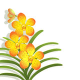 Yellow Vanda Orchid Royalty Free Stock Images