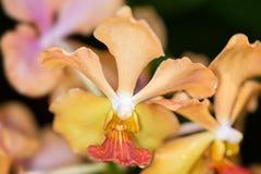 Yellow Vanda Tay Chay Yan  Hybrib orchid Royalty Free Stock Image
