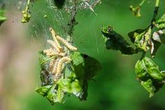 Yellow varmint caterpillar Stock Photography