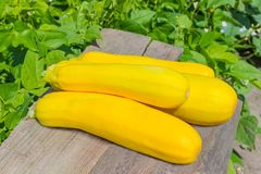 Yellow vegetable marrows on old planks against of vegetable plan Royalty Free Stock Photo