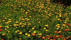 Yellow velvet flower garden stock video footage