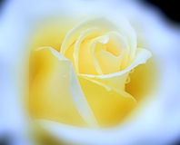 Yellow velvet rose with rain dew drops in soft cloud Royalty Free Stock Images