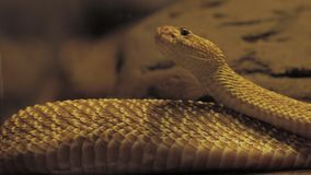 Yellow venomous snake on the tree stock video