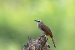 Yellow-vented Bulbul Royalty Free Stock Photos