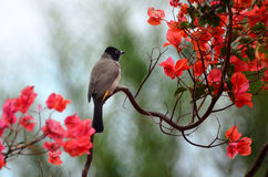 Yellow Vented Bulbul Stock Photography