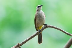 Yellow-vented Bulbul. Is residental bird in Thailand Stock Images