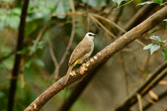 Yellow-vented bulbul. Beautiful yellow-vented  bulbul standing on the log Stock Images