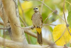 Yellow-vented bulbul Royalty Free Stock Photography