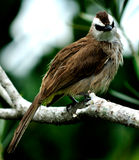 Yellow-vented bulbul bird. The yellow-vented bulbul, a small bird with olive brown crown, white side of head  and yellow under tail coverts, staring Stock Photo