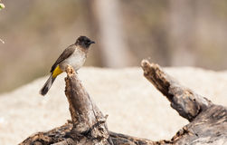 Yellow-vented bulbul bird. Sits on log in Tanzania, Africa Royalty Free Stock Photo