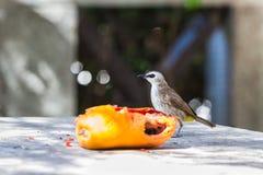 Yellow-vented Bulbul bird. The Yellow-vented Bulbul (Pycnonotus goiavier) bird approaches to the fruit (ripe papaya Royalty Free Stock Photos