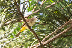 Yellow-vented Bulbul bird Royalty Free Stock Images