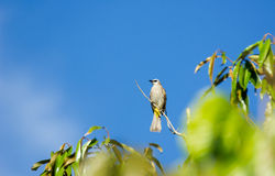 The yellow vented Bulbul bird Royalty Free Stock Images