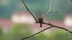 Yellow Vented Bulbul  at 1120mm stock video