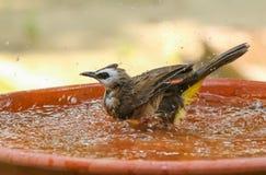 Yellow - vented Bulbul Pycnonotus goiavier bath in the garden. With motion blur Stock Photos