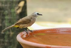 Yellow - vented Bulbul Pycnonotus goiavier bath in the garden. With motion blur Stock Images