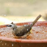 Yellow - vented Bulbul Pycnonotus goiavier bath in the garden. With motion blur Royalty Free Stock Photo