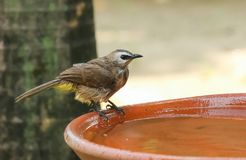 Yellow - vented Bulbul Pycnonotus goiavier bath in the garden. With motion blur Royalty Free Stock Photography