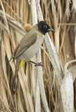 Yellow-vented Bulbul (Pycnonotus goiavier) Stock Photography