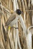 Yellow-vented Bulbul (Pycnonotus goiavier). Beer-Sheva, Israel Stock Photography