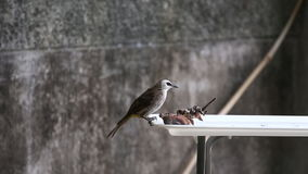 The Yellow-vented Bulbul (Pycnonotus goiavier) bird Royalty Free Stock Photo