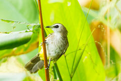 Yellow-vented bulbul,. Pycnonotus goiavier, bird of Thailand in the nature Stock Images