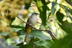 Yellow-vented Bulbul Pycnonotus goiavier perching on mango branch with green leaves background. Yellow-vented Bulbul is a common bird in South-east Asia. Found Royalty Free Stock Image