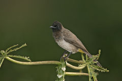 Yellow-vented bulbul, Pycnonotus goiavier Stock Photos