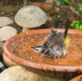 Yellow - vented Bulbul Pycnonotus goiavier swimming Stock Photography