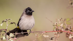 Yellow-vented Bulbul on Shrubs Royalty Free Stock Images