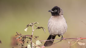 Yellow-vented Bulbul on Shrubs Stock Photos