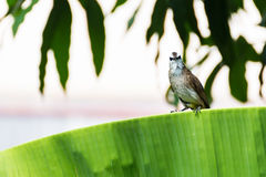 Yellow-vented Bulbul Royalty Free Stock Photo